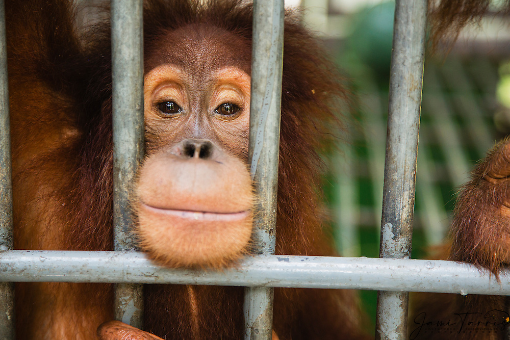As a victim of the illegal pet trade, a young orangutan is