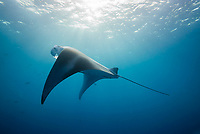 reef manta ray, Manta alfredi, feeding on plankton, German Channel, Palau, Micronesia, Pacific Ocean