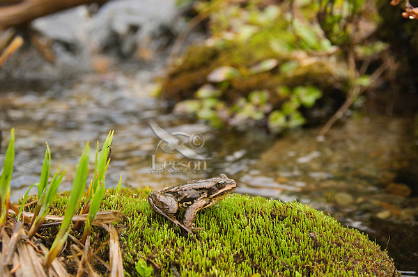Cascades Frog (Rana cascadae), Pacific Northwest mountains, summer.