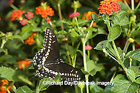 03009-015.19 Black Swallowtail (Papilio polyxenes) male on Red Spread Lantana (Lantana camara) Marion Co.  IL