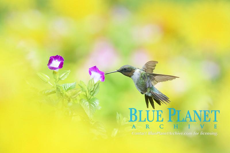 Ruby-throated Hummingbird (Archilochus colubris), male in flight feeding on Wishbone flower (Torenia fournieri), Hill Country, Texas, USA, North America