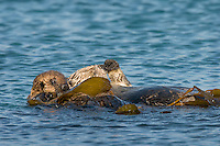 Southern Sea Otter (Enhydra lutris nereis) mother with young pup resting in kelp.  Central California Coast.  Wrapping up in the kelp keeps them from drifting off with the wind, tide or current.