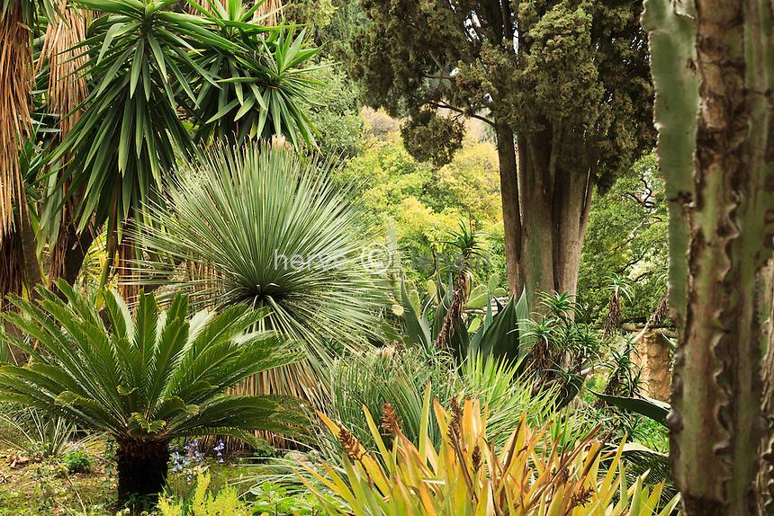 France, Alpes-Maritimes (06), Menton, jardin Serre de la Madone :.Cycas revoluta, Dasylirion, Yucca...
