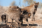 Spotted hyena, Crocuta crocuta, clan members greeting, Kgalagadi Transfrontier Park, Northern Cape, South Africa