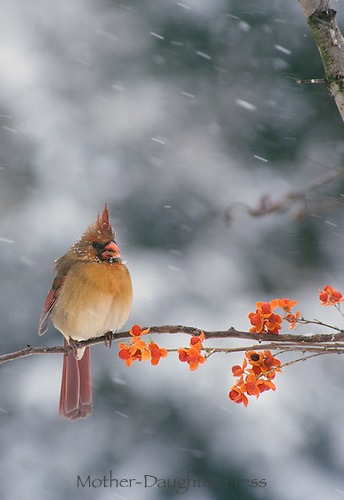 Female Cardinal in falling snow on branch with bittersweet, Midwest USA