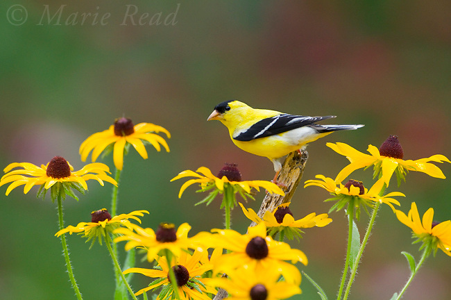 American Goldfinch (Carduelis tristis) male, perched amid Black-eyed Susan (Rudbeckia sp.)  flowers in summer, New York, USA (Slight digital retouch - flowers)