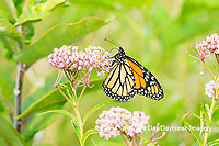 03536-06201 Monarch (Danaus plexippus) on Swamp Milkweed (Asclepias incarnata) Marion Co. IL
