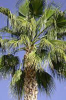 Palm tree against blue sky. Tenerife,Canary Islands.