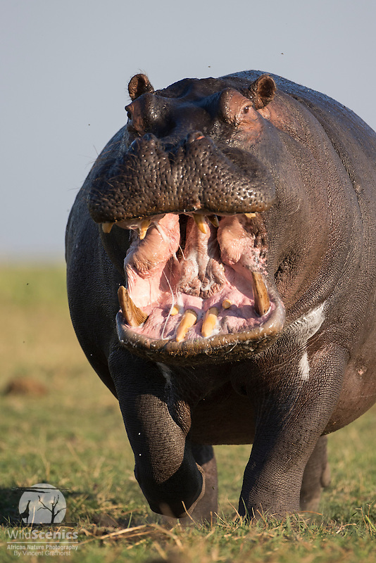 Angry territorial bull hippopotamus charging head on.