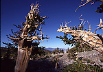 Ancient Bristlecone Pine Trees at Great Basin NP