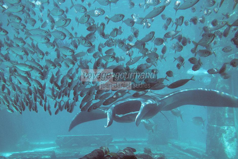 Iles Bahamas / New Providence et Paradise Island / Nassau: Hotel Atlantis à Paradise Island-les aquariums géants- raie
