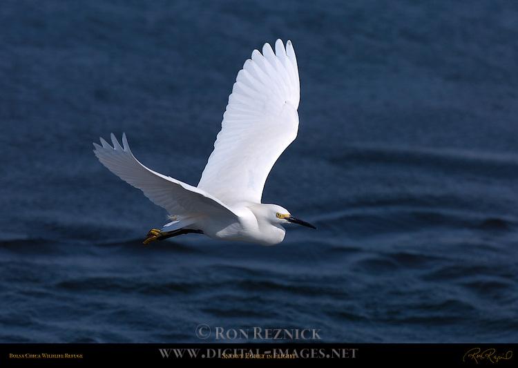 Snowy Egret in Flight Bolsa Chica Wildlife Refuge Southern California