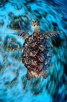 Hawksbill turtle, Eretmochelys imbricata, swimming in Cozumel, Mexico, Caribbean Sea, Atlantic Ocean
