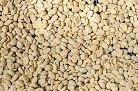 Raw coffee beans drying on a palette in the sun, Pua'a Kea Farm, Pa'auilo, Hamakua area, Big Island.