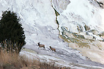 Two elk walking along formations at Mammoth Hot Springs in Yellowstone National Park, Wyoming.