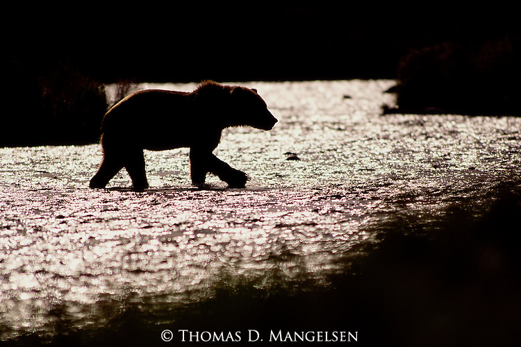 Crossing a small creek on Kodiak Island at sunset, a lone brown bear returns to the shore where he will bed down in nearby grasses to pass the Alaskan night.