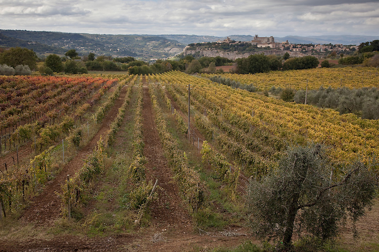 Umbrian vineyard with Orvieto hill town in distance,Italy
