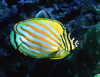 Ornate Butterfly Fish in New Guinea
