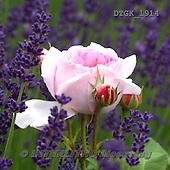 Gisela, FLOWERS, BLUMEN, FLORES, photos+++++,DTGK1914,#f#