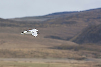 Andean gull, Larus serranus. Antisana Ecological Reserve, Ecuador