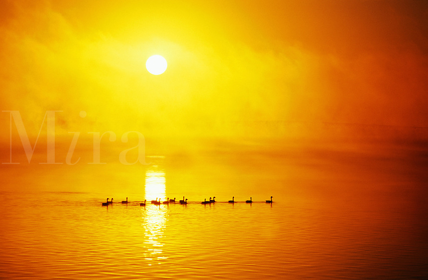 Canada, Ontario, Niagara Falls. Canada Geese on the Niagara River at sunrise