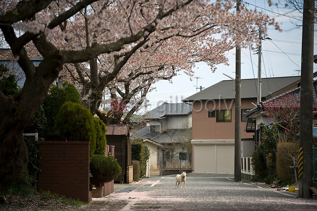 """An abandoned dog roams along a street famed for having one of Japan's longest cherry blossom """"tunnels"""" in Tomioka, Fukushima Prefecture, Japan on Wednesday 20 April  2011. Usually lively with party^goers at this time of the year, the streets of the town, which is located just a few miles from the leaking Fukushima No. 1 nuclear power plant, are deserted..Photographer: Robert Gilhooly"""