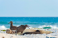 endemic Hawaiian monk seals, Neomonachus schauinslandi ( Critically Endangered Species ), mother nursing pup is disturbed by squawking of black-footed albatross, Phoebastria nigripes; East Island, French Frigate Shoals, Papahanaumokuakea Marine National Monument, Northwest Hawaiian Islands, USA ( Central Pacific Ocean )