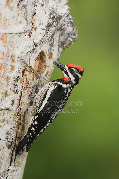 Red-naped Sapsucker Sphyrapicus nuchalis), adult with prey at nesting cavity in aspen tree, Rocky Mountain National Park, Colorado, USA