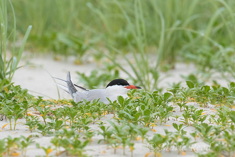 Common Tern (Sterna hirundo), incubating on its nest among beach vegetation, Nickerson Beach, Long Island, New York, USA