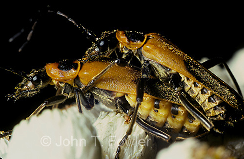 Soldier beetles Cantharidae mating