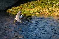 With wide white wings a Snowy egret flies over the Duck Pond at San Lorenzo Community Park.  Urban wildlife in San Francisco Bay's East Bay.