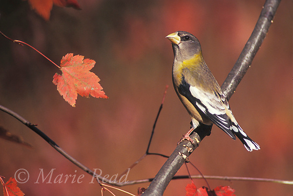 Evening Grosbeak (Coccothraustes vespertinus) female, New York, USA<br />