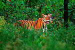 A bengal tiger pauses at the edge of the forest in Kanha National Park, Madhya Pradesh, India.