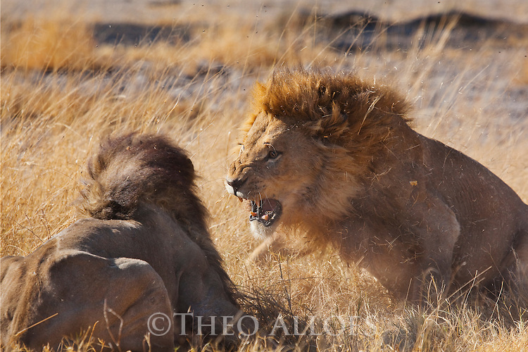 Botswana, Okavango Delta, Moremi; male lions fighting over female