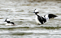 Pair of adult male buffleheads in breeding plumage