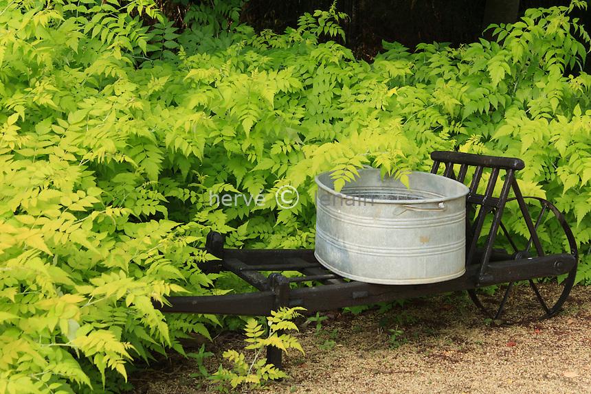 Jardins du pays d'Auge (mention obligatoire dans la légende ou le crédit photo):.brouette et ronces dorées (Rubus cockburnianus 'Goldenvale').