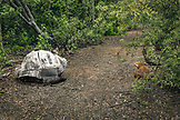 GALAPAGOS ISLANDS, ECUADOR, giant land tortoise spotted while exploring the west side of Isabela Island at the base of Alcedo and Darwin Volcanoes