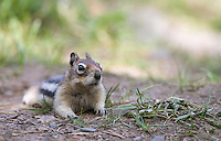 Golden-mantled ground squirrels are sometimes seen near boardwalks and picnic areas in Yellowstone.