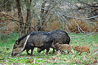 Collared Peccary or javelina (Tayassu tajacu).  Adult female with young piglets.  Peccaries usually travel in small bands of five to fifteen individuals.  Texas.  March.