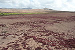 Red Succulent Plant covering ground, Landscape Views of Los Molinos, Fuerteventura, Canary Islands, Spain