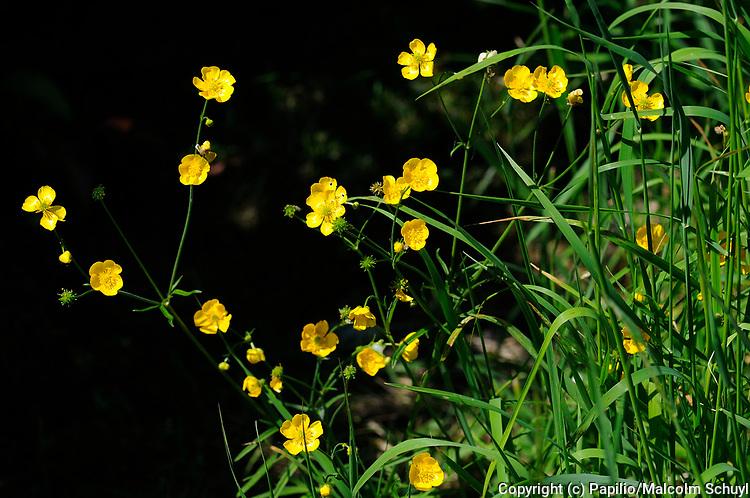 Meadow Buttercup (Rannunculus acris) Oxfordshire, UK