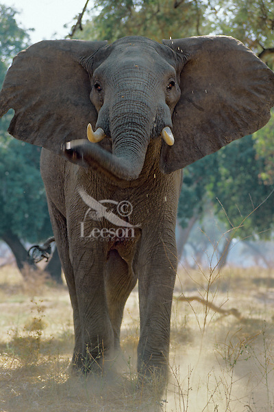 African elephant (Loxodonta africana) young bull charging (bluff).  Mana Pools National Park, Zimbabwe.
