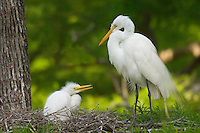 Great or Common Egret's nest.  Southern U.S., May.