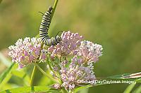 03536-06002 Monarch (Danaus plexippus) caterpillar on Swamp Milkweed (Asclepias incarnata) Marion Co. IL