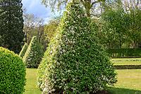 France, Loir-et-Cher (41), Cheverny, château et jardin de Cheverny en avril, le jardin des apprentis, France, Loir-et-Cher (41), Cheverny, château et jardin de Cheverny en avril, le jardin des apprentis, pommiers à fleurs 'Evereste' (Malus 'Evereste') taillés en pyramide