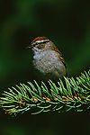Chipping Sparrow perched on a conifer branch.