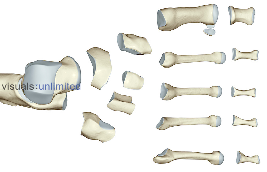 A superior view of the bones of the ankle. (The bones have been separated.) Royalty Free