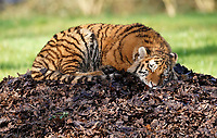 BNPS.co.uk (01202 558833)<br /> Pic: CalebHall/Longleat/BNPS<br /> <br /> Big cat dreams... a tiger naps in the spring heat. <br /> <br /> Longleat Safari Park has been showing the public what they've been missing during the lockdown by releasing a candid collection of pictures of their famous collection of big cats.<br /> <br /> The Wiltshire park is currently closed to the public due to COVID-19 but has been giving animal lovers an insight into the animals.<br /> <br /> They have snapped the iconic lions in a number of spots around their enclosure as well as a series of photographs of their tigers.