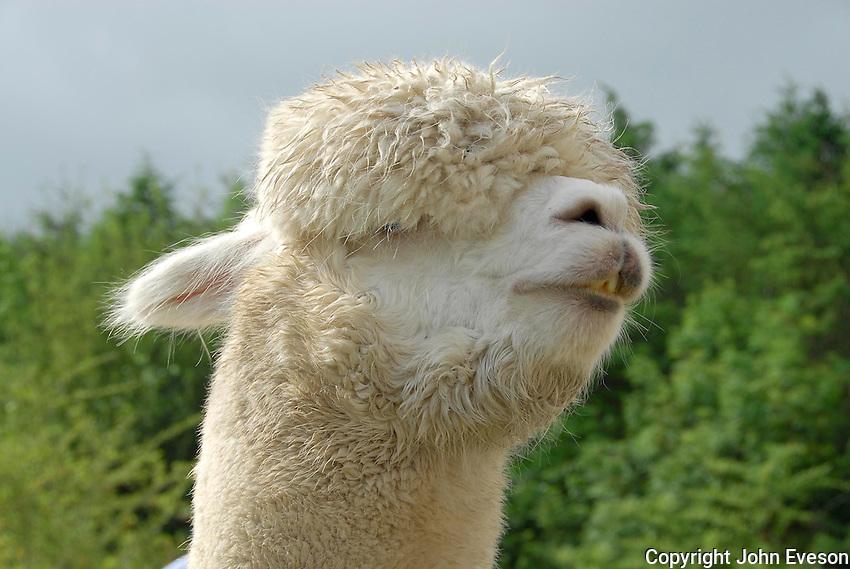 Close up of Alpaca head at Devon Show.