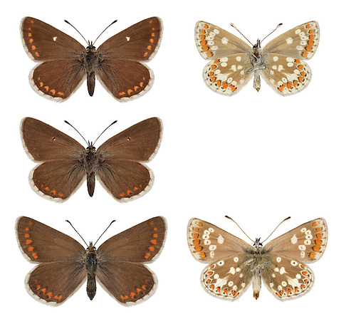 Northern Brown Argus - Aricia artexerxes - ssp. artaxerxes (top and middle row) - <br /> ssp. salmacis = Durham Argus (bottom row).  Wingspan 25mm. A distinctive butterfly and the northern counterpart of the Brown Argus. Adult has rich brown upperwings and orange submarginal spots; compared to Brown Argus note the white spot on the upper forewing. Underwings are grey-brown with white-ringed black spots, and orange submarginal spots. Flies June-July. Larva is grub-like and feeds on Common Rock-rose. Very local in calcareous grassland in northern England and Scotland.